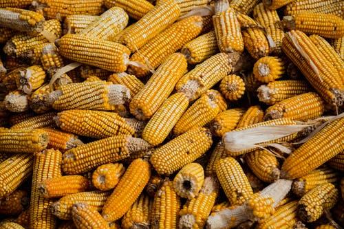 alimentación del pueblo Chorotí